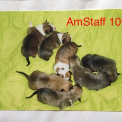 Dag 2807: AmStaff 101- Inleiding