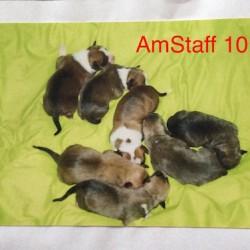 Dag 2811: AmStaff 101- Socialiseren