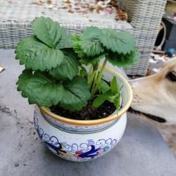 Dag 4149: Aardbeienplantje