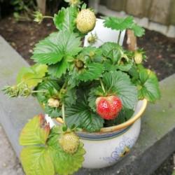 Dag 4232: Aardbeienplant