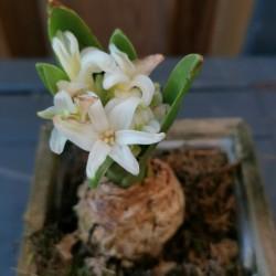 Dag 4288: Hyacint